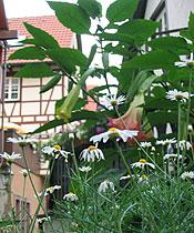 Gänseblumen