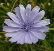 Wegwarte-Blume-des-Jahres-2