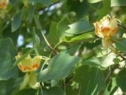 Tulpenbaum-Blueten